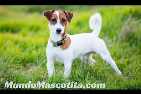 Jack Russell Terrier Carácter y Cuidados