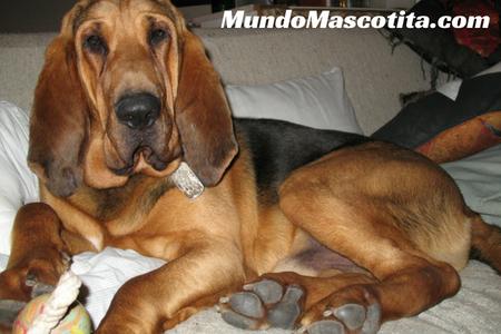 Perro de Caza Especies Representativas