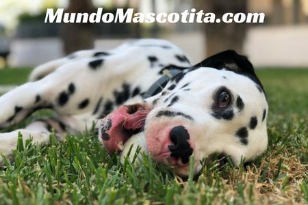 Perros que no huelen ni sueltan pelo