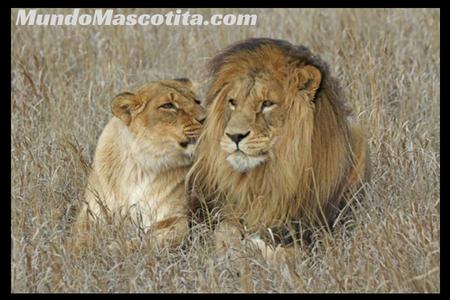 Porque el León es el Rey de la Selva y no el Tigre