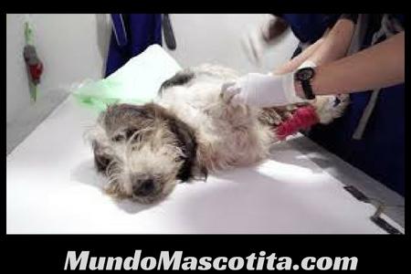 Como Curar una Herida Profunda a un Perro