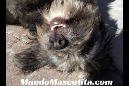 Convulsiones en Perros Causas y Tratamiento