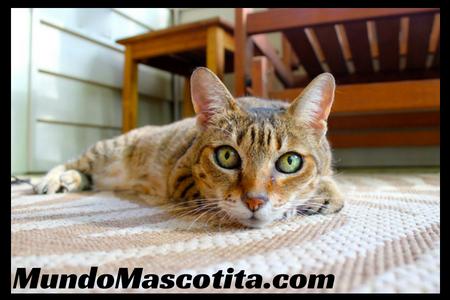 Enfermedades de Gatos Transmisibles a Humanos