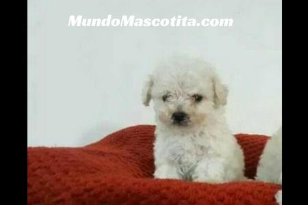 Perros French Poodle Mini Toy Características Mundo Mascotita