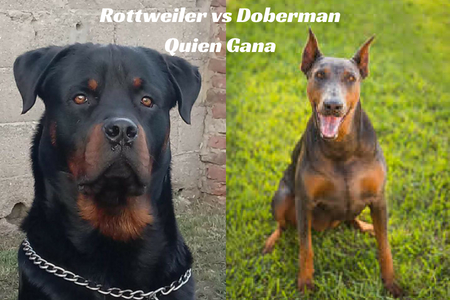 Rottweiler vs Doberman Quien Gana