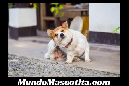 Tipos de Dermatitis en Perros Tratamiento