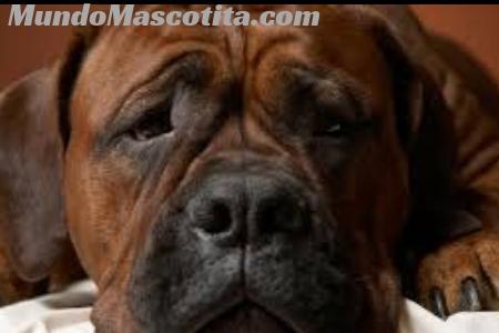 Bronquitis en Perros Remedios Caseros