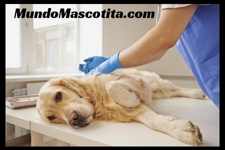 Inyección para Dormir Perros