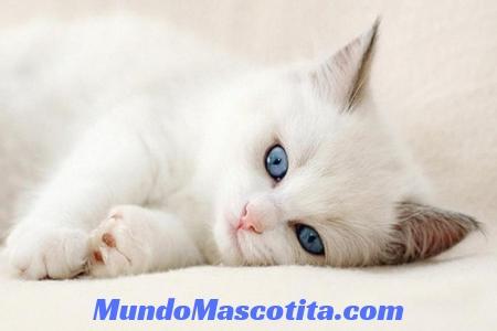 Nombres para Gatas Blancas con Ojos Azules