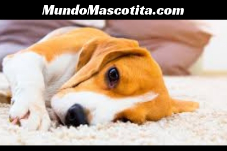 Otitis en Perro Tratamiento Casero
