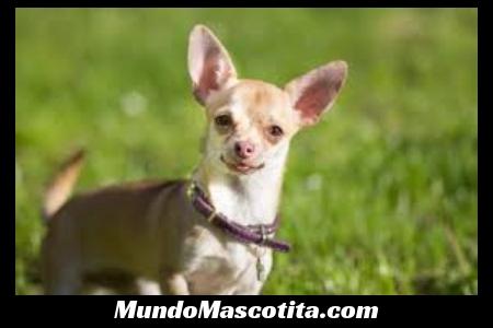 Tipos de Perros Chihuahuas que Hay