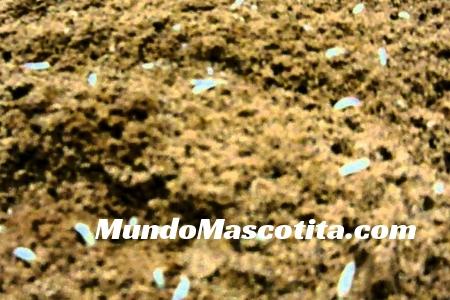 Como Matar Larvas de Mosca