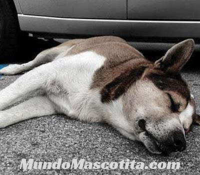 Distemper Canino Síntomas y Tratamientos