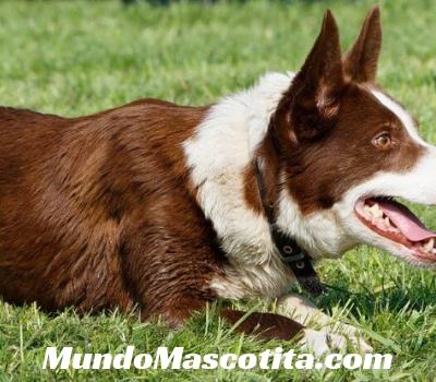 Examen Dermatológico en Perros