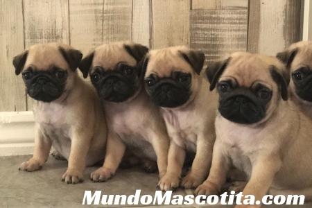 Información Sobre el Perro Pug
