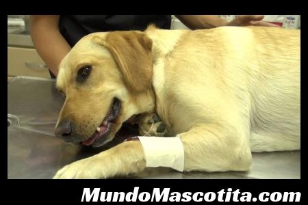 Insuficiencia Cardiaca en Perros Tratamiento
