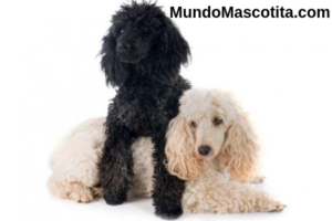 Caniche y French Poodle son lo Mismo