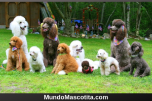 French Poodle Cortes de Pelo